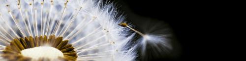 pluizebol bloem die heel voorzichtig haar eerst pluis aan het loslaten is vol overgave